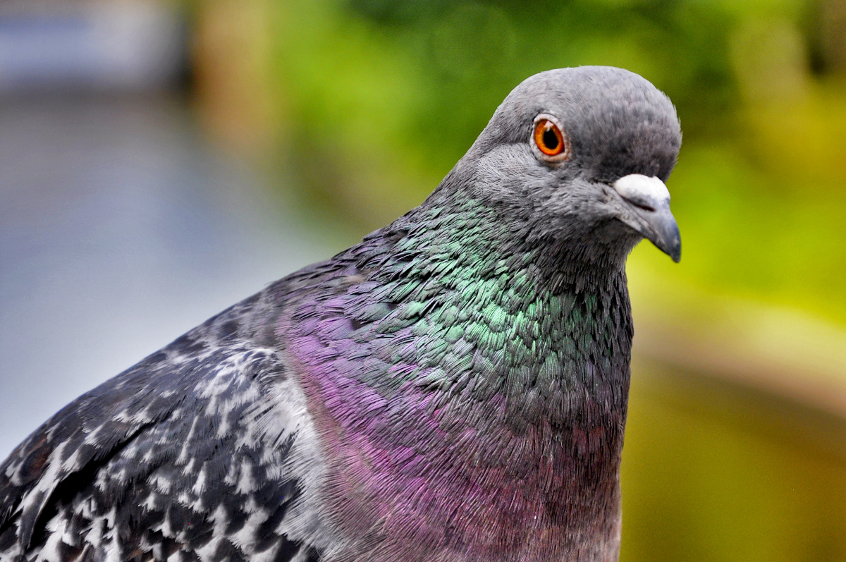 Russian Pigeon Male