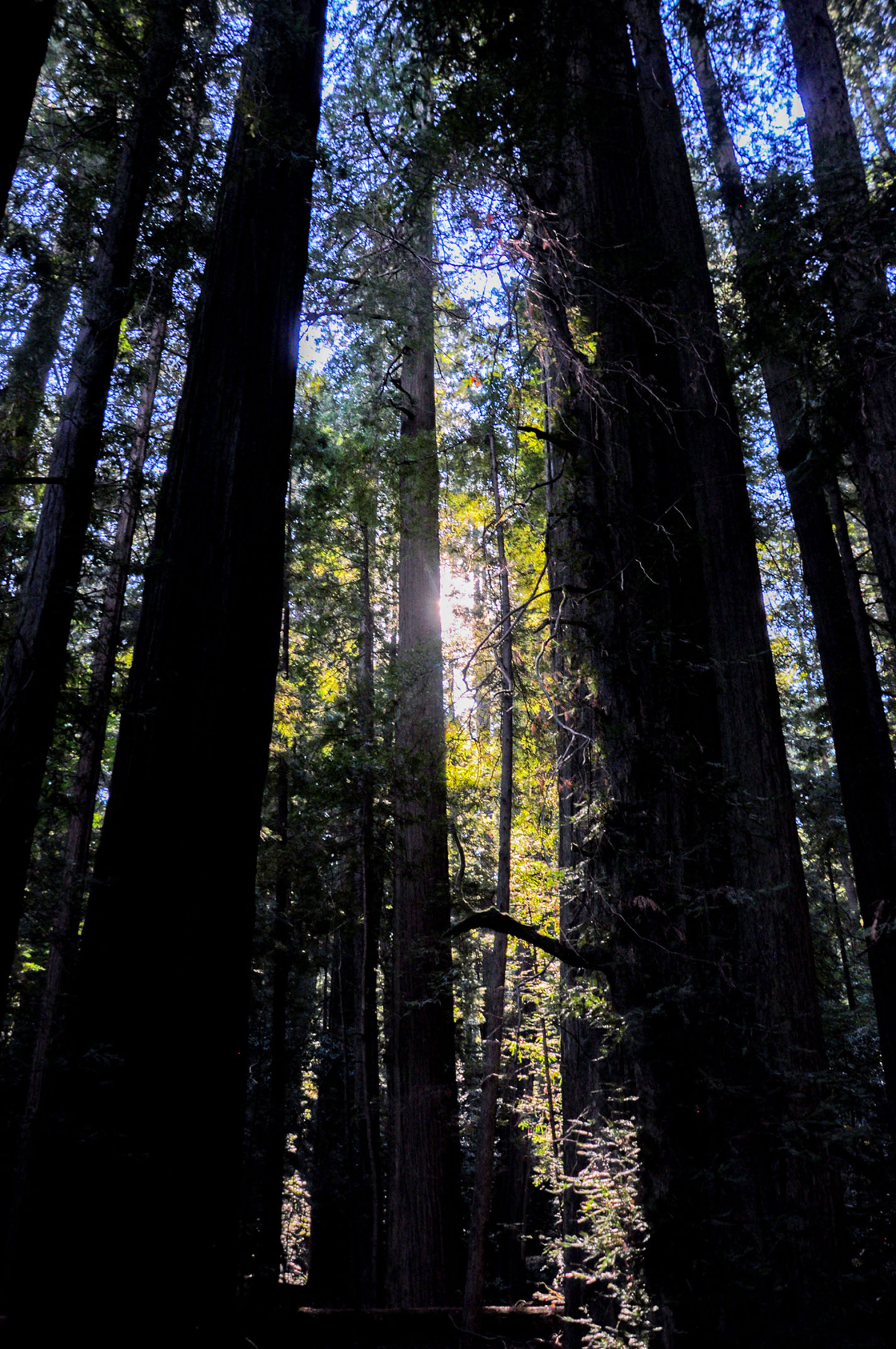 Light through the Redwoods