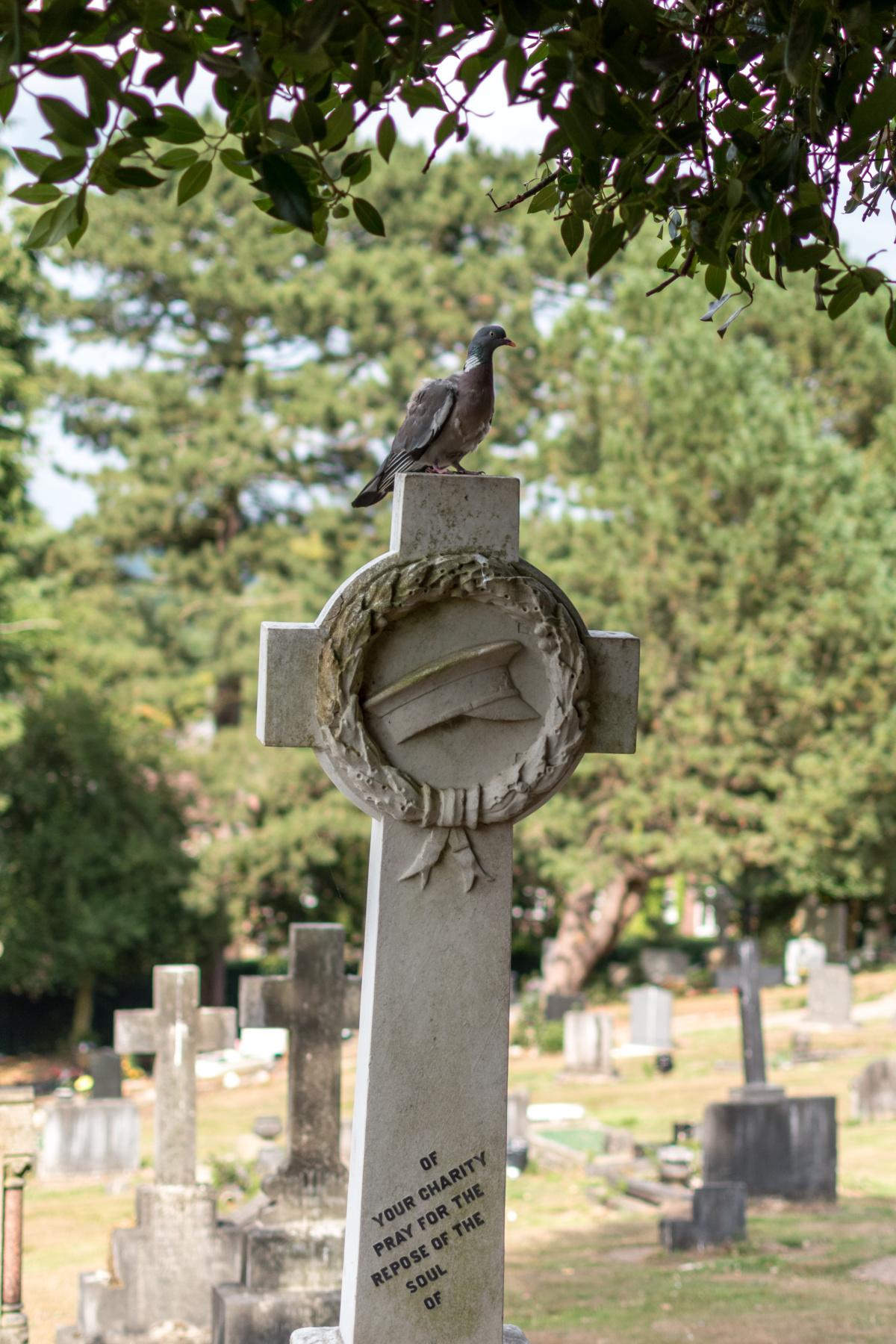 Cemetery Pigeon