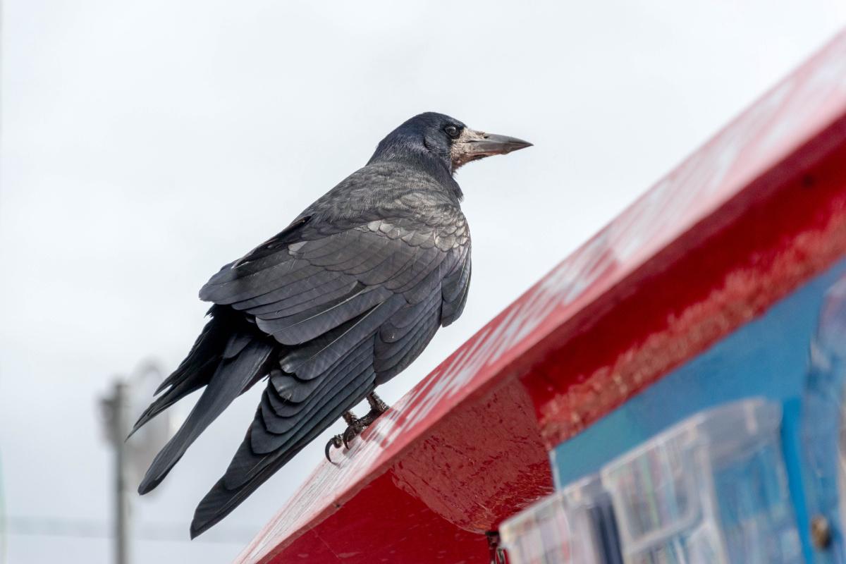 Crow of Cobh