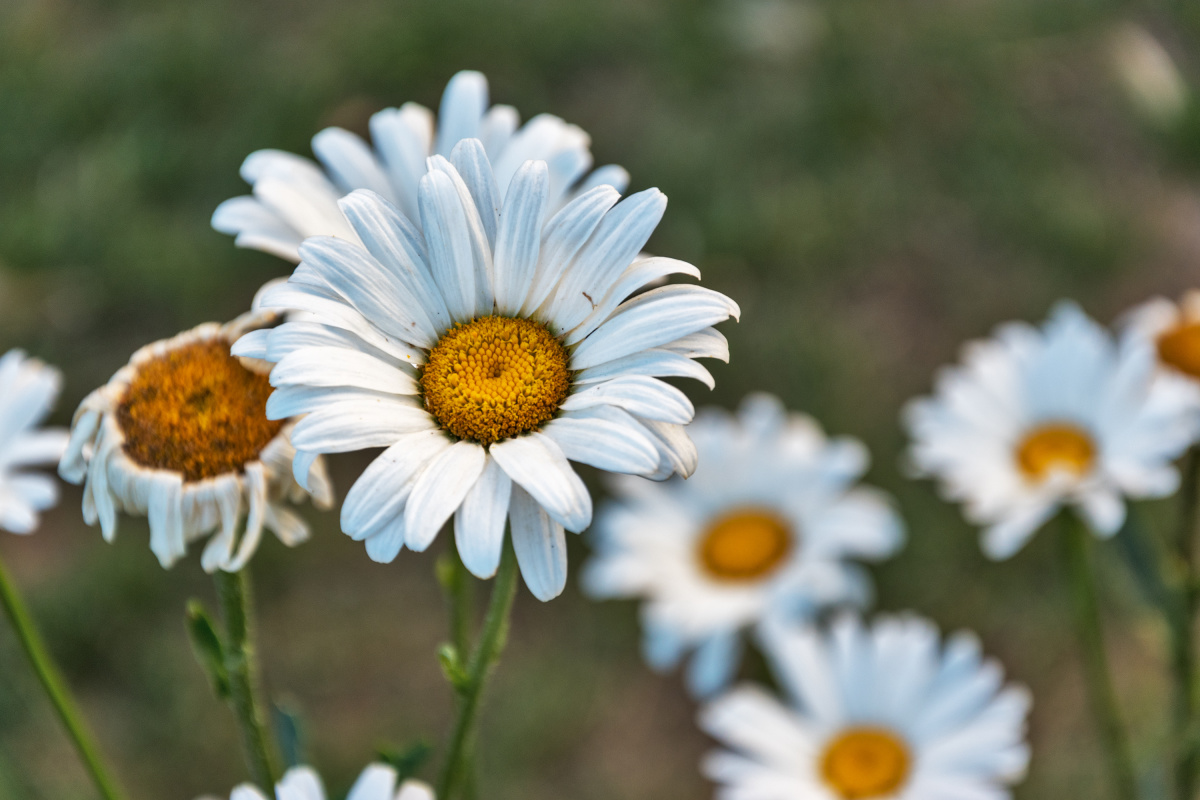 The Life and Death of Daisys